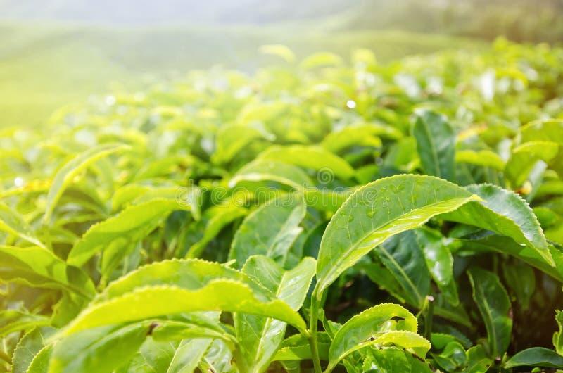 Folhas de chá fotos de stock