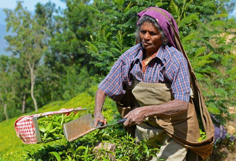 Folhas de chá da colheita da mulher em Munnar, Kerala, Índia imagens de stock royalty free