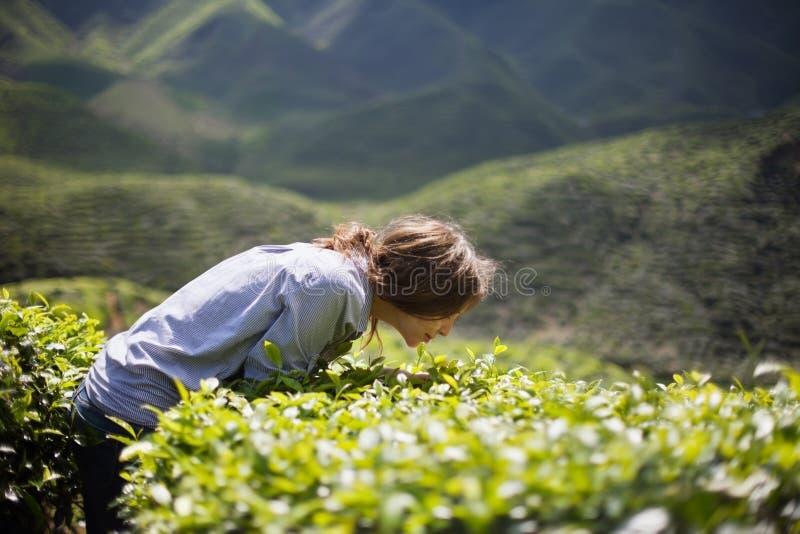 Folhas de chá de cheiro da mulher foto de stock