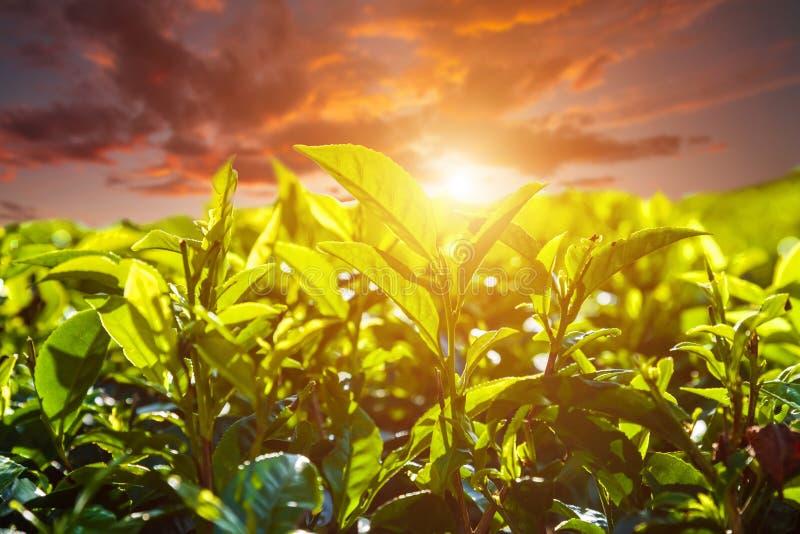 Folhas de chá verdes frescas contra o fundo bonito do céu imagem de stock royalty free