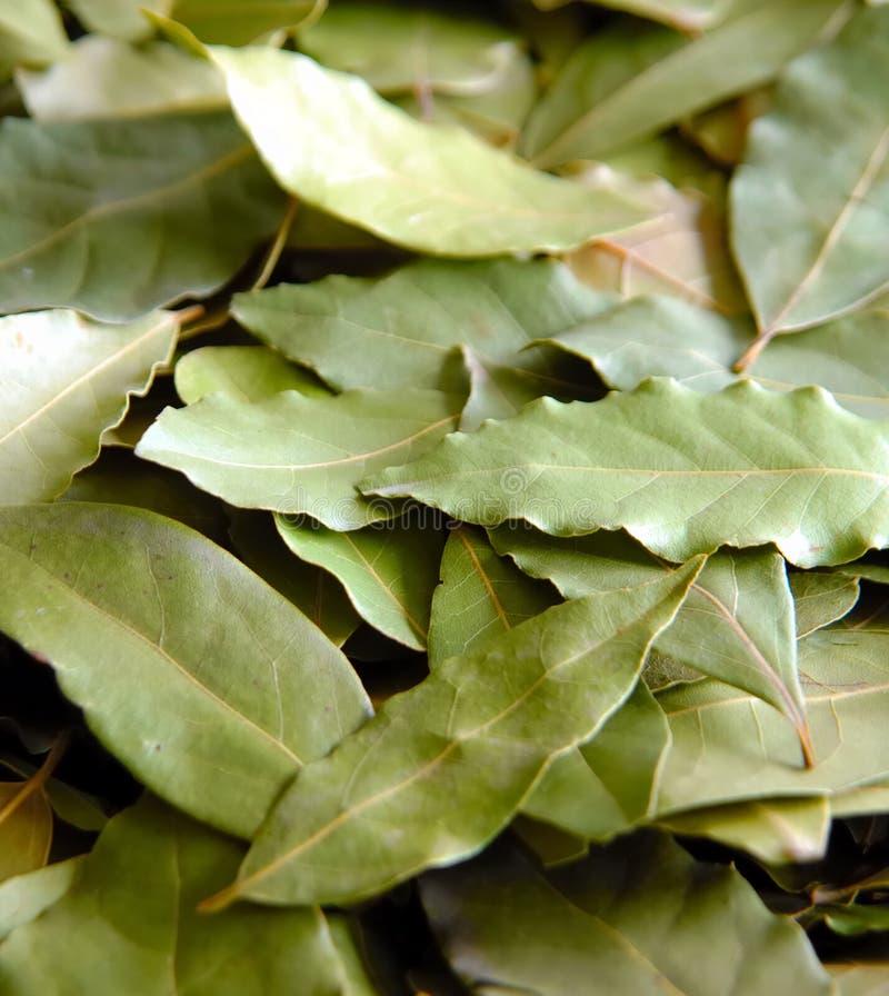 Folhas de Daphne foto de stock royalty free