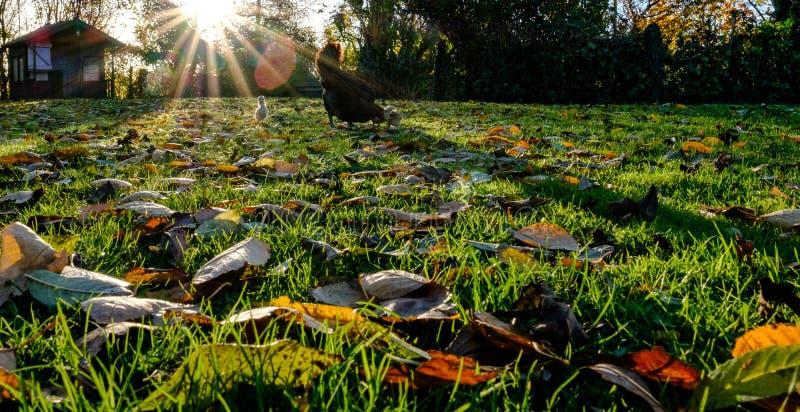 Folhas de deterioração do inverno vistas em um gramado, também na vista uma galinha da mãe e seus pintainhos imagens de stock royalty free