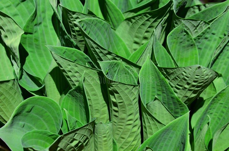 Folhas de florescência do Hosta no verão imagem de stock