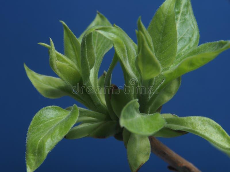 Folhas de florescência novas da árvore Tiros dos jovens na primavera P imagens de stock