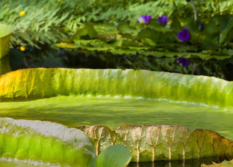 Folhas de flutuação de Victoria Regia imagem de stock