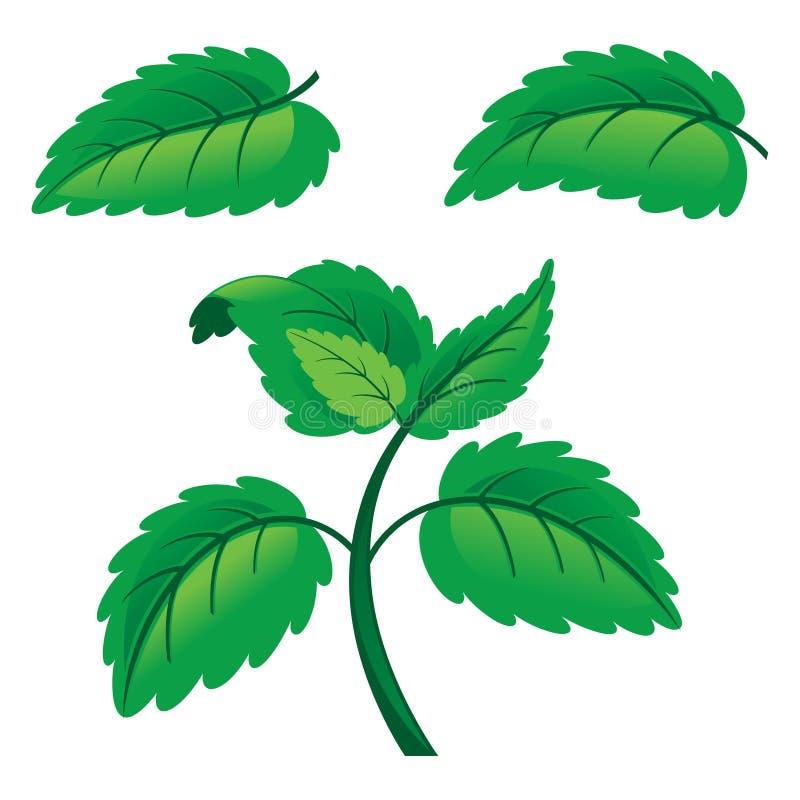 Folhas de hortelã cruas frescas ilustração stock