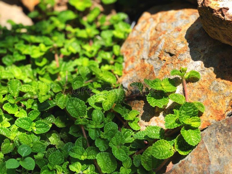 Folhas de hortelã da pimenta verde no jardim com luz solar natural fotos de stock