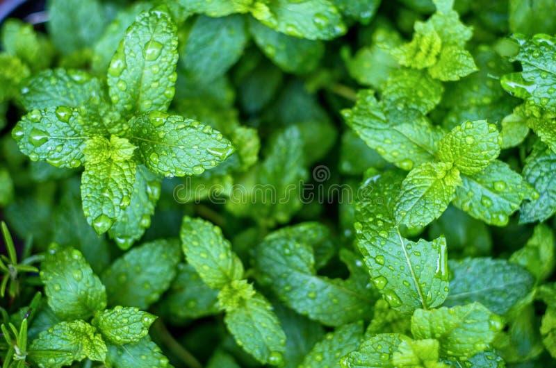 Folhas de hortelã fresca com pingos de chuva fotografia de stock