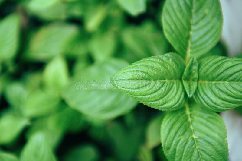Folhas de hortelã que crescem na planta de jardim vegetal para ervas foto de stock