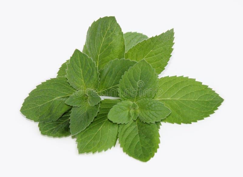 Folhas de hortelã verdes frescas fotos de stock