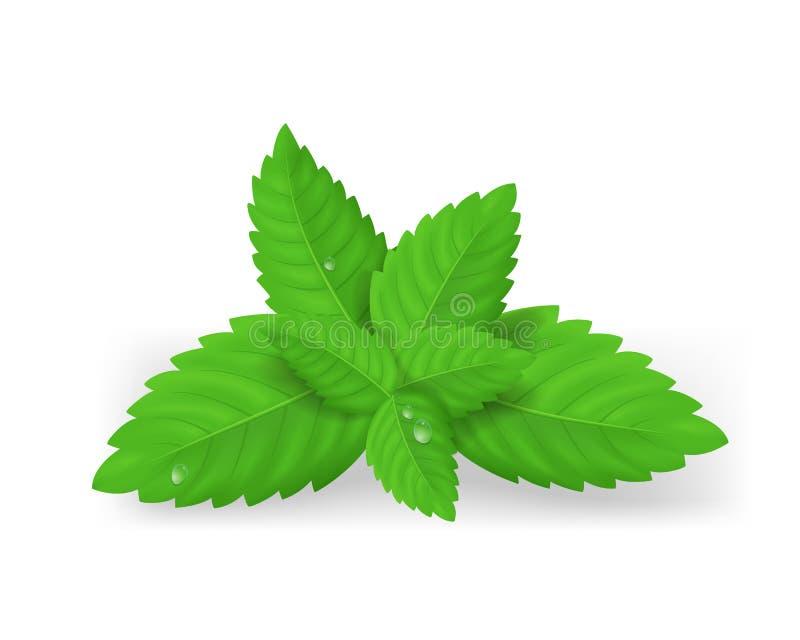 Folhas de hortelã verdes frescas detalhadas realísticas Vetor ilustração royalty free