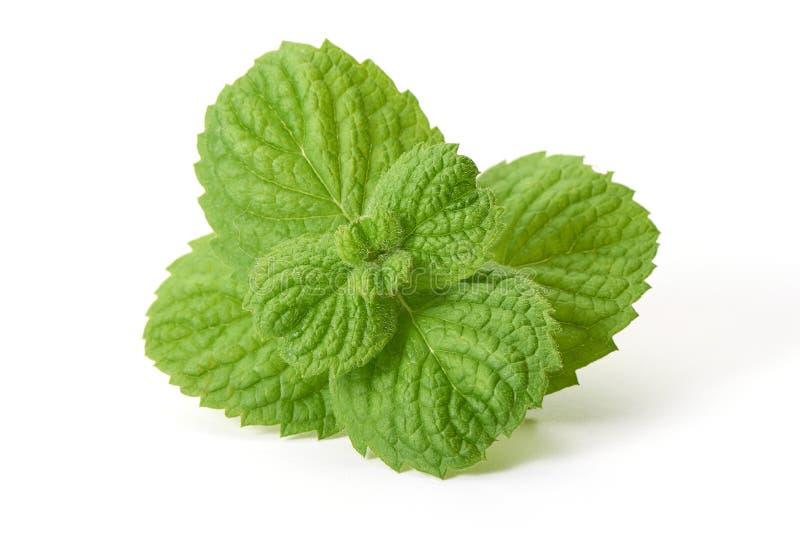 Folhas de hortel? fresca, close-up, isolado no fundo branco fotografia de stock royalty free