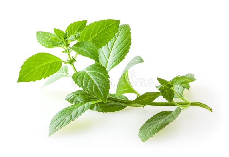 Folhas de hortel? fresca isoladas no branco imagens de stock royalty free