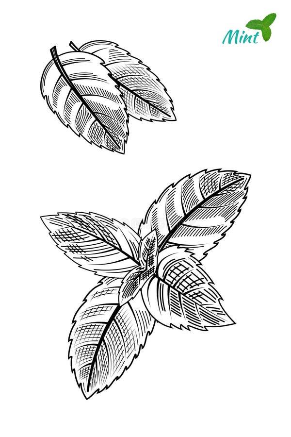 Folhas de hortel? tiradas m?o do estilo do esbo?o Vetor ilustração royalty free