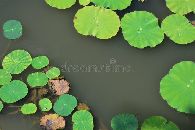 Folhas de Lotus imagens de stock royalty free