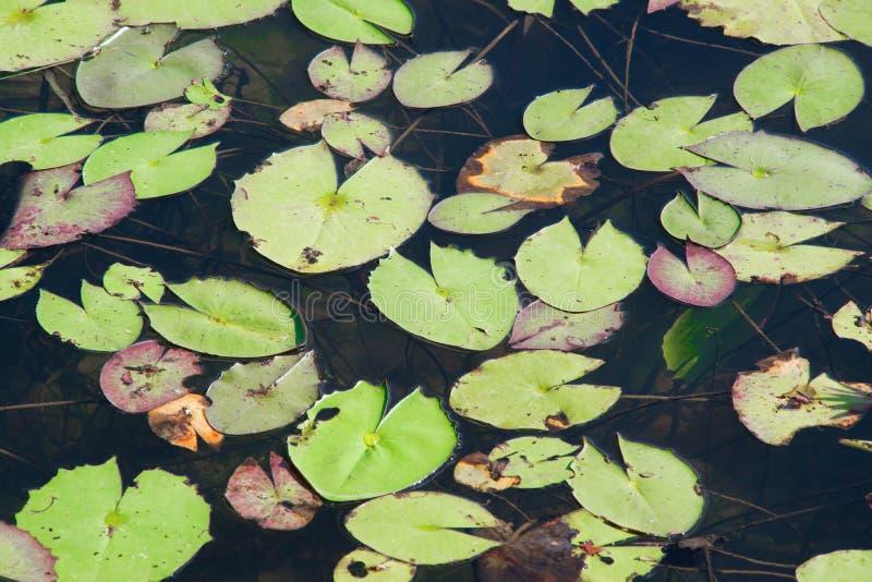 Folhas de Lotus imagens de stock