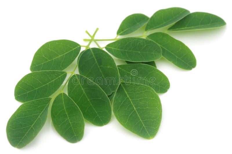 Folhas de Moringa imagens de stock