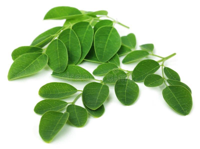 Folhas de Moringa foto de stock