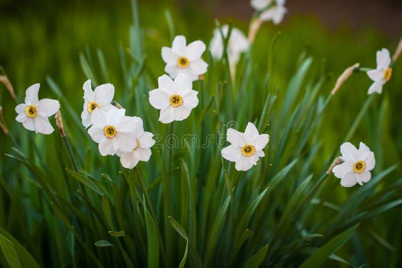 Folhas de Narcissus Color White With Green das flores que crescem no jardim fotografia de stock