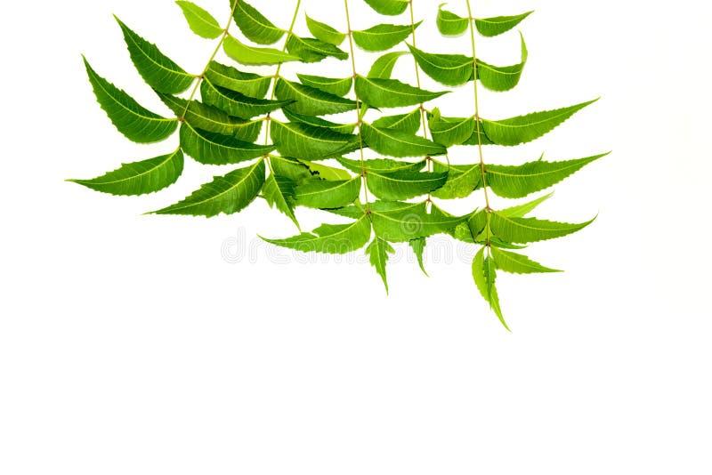Folhas de Neem foto de stock