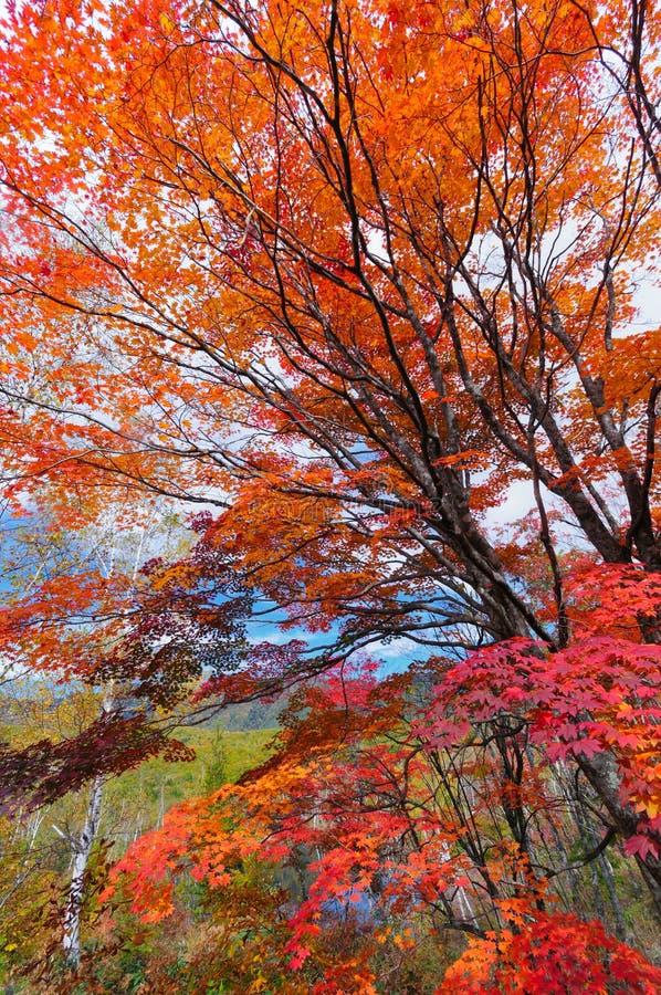 Download Folhas de outono imagem de stock. Imagem de árvore, folha - 26523743