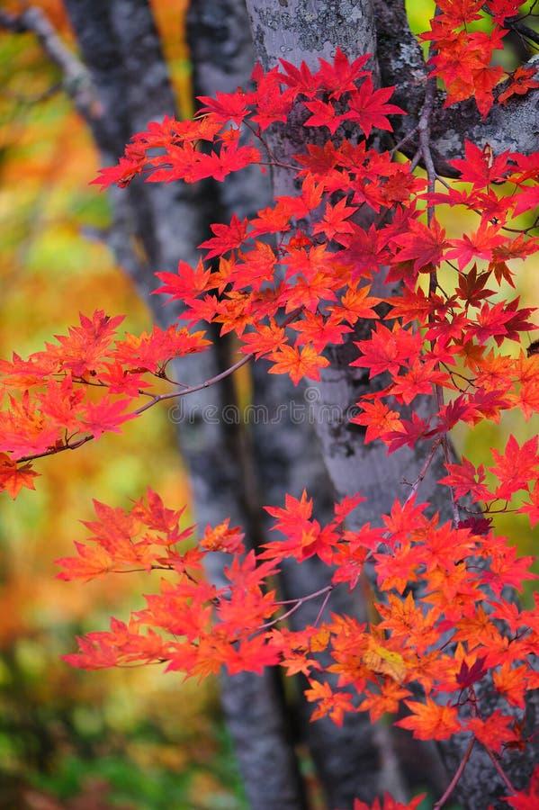 Download Folhas de outono imagem de stock. Imagem de vermelho - 26523859
