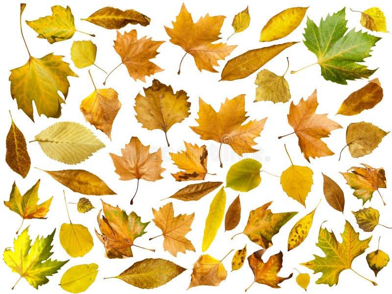 Folhas de outono ajustadas. Branco isolado fotos de stock