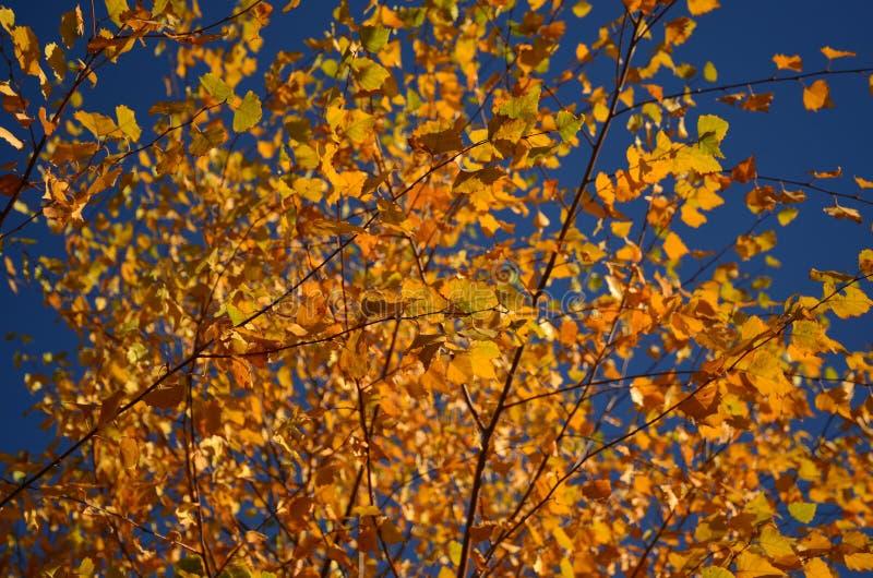 Folhas de outono amarelas na árvore fotografia de stock