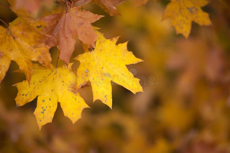 Download Folhas De Outono Amarelas No Parque No Fundo Amarelo Foto de Stock - Imagem de outdoors, planta: 80101072