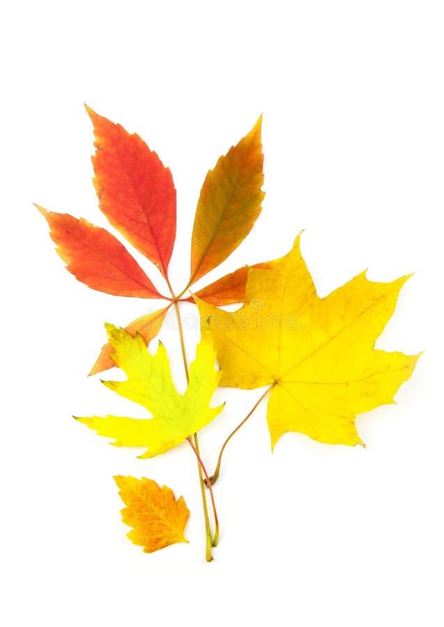 Folhas de outono bonitas/isoladas no branco fotografia de stock