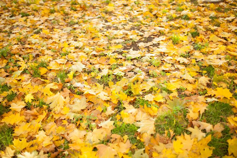 Folhas de outono caídas na grama na luz ensolarada da manhã tonificada imagem de stock royalty free