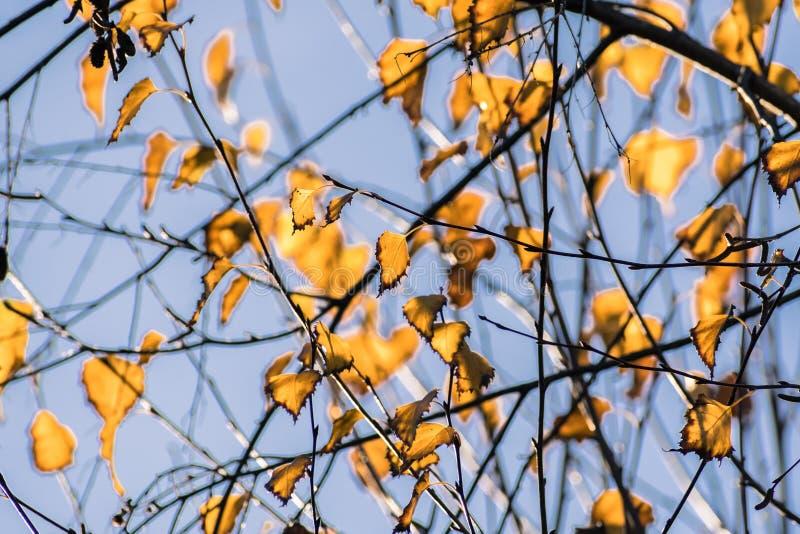 Folhas de outono coloridas de Betula Pendula dos vidoeiros de prata em um fundo do céu azul, Califórnia fotos de stock