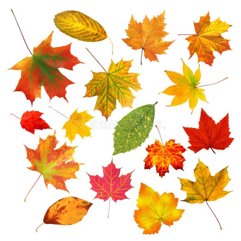 Folhas de outono coloridas bonitas da coleção isoladas no branco fotografia de stock royalty free