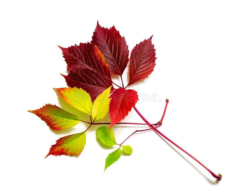 Folhas de outono coloridas bonitas isoladas no fundo branco foto de stock royalty free