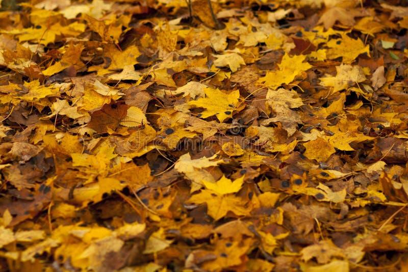 Folhas de outono coloridas Folhas da laranja do outono do grupo do fundo outdoor fotografia de stock royalty free