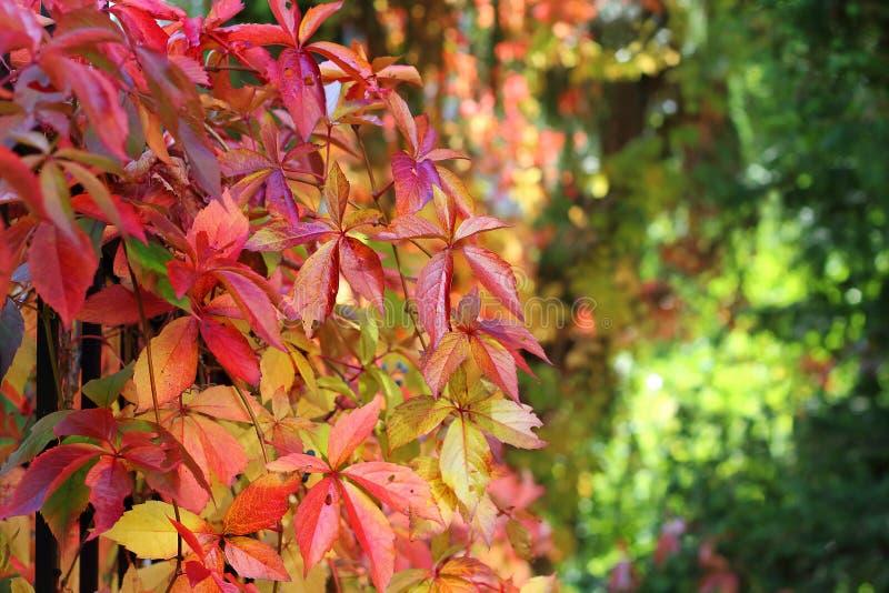 Folhas de outono da videira selvagem no jardim imagens de stock