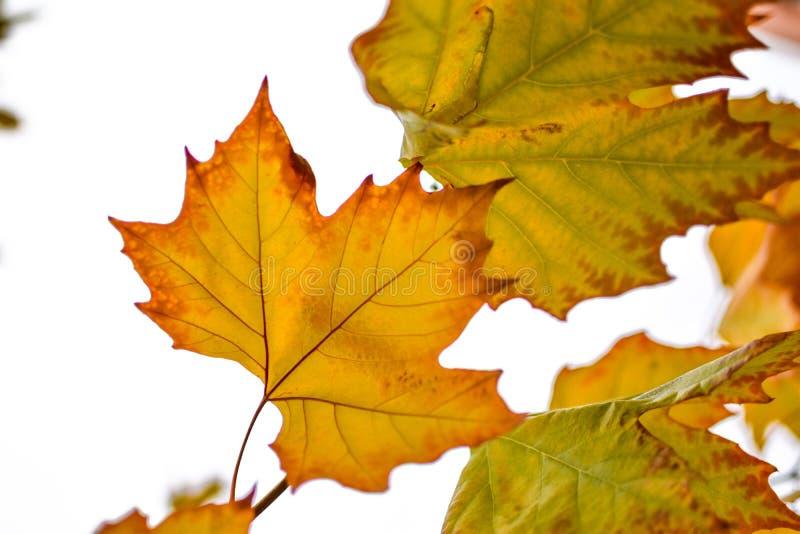 Folhas de outono de uma árvore de bordo imagens de stock