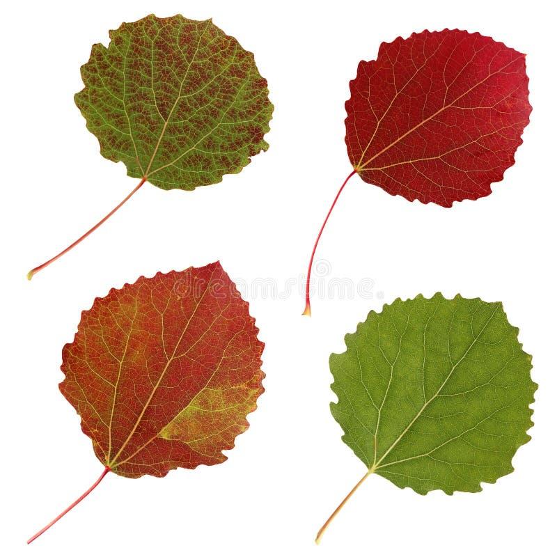 Folhas de outono do álamo tremedor, isolado imagem de stock royalty free