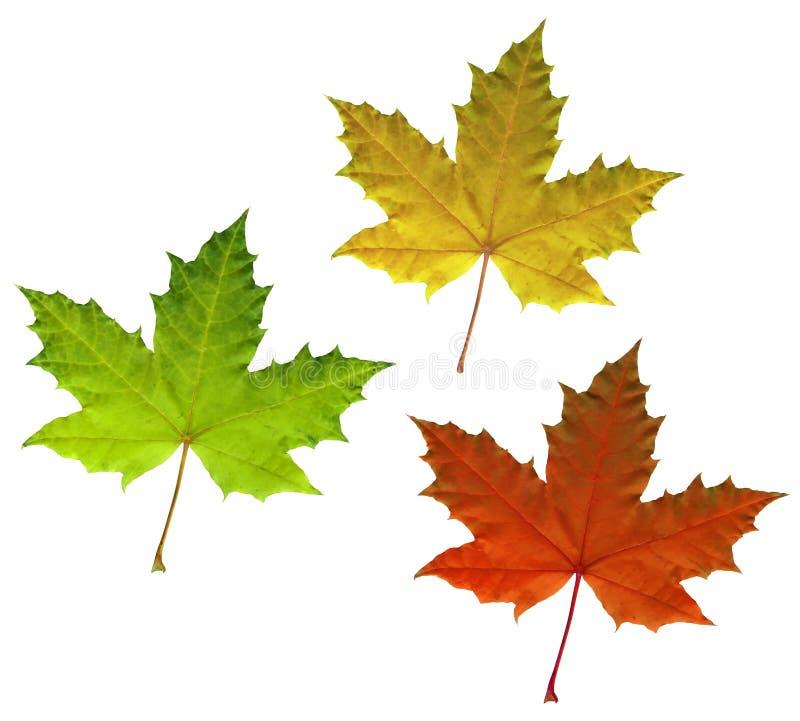 Folhas de outono do bordo da cor isoladas no branco imagem de stock royalty free
