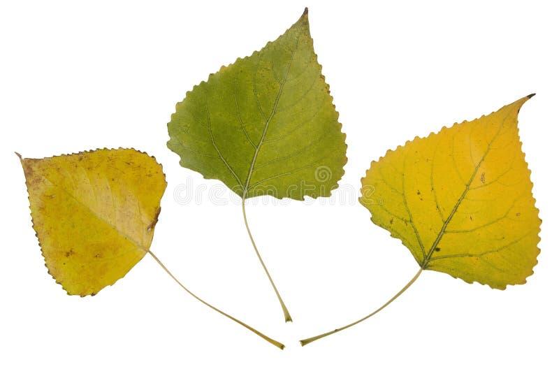 Folhas de outono do cottonwood fotos de stock royalty free