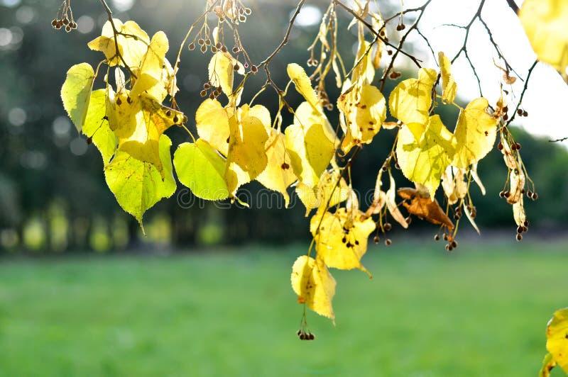Folhas de outono do Linden fotos de stock