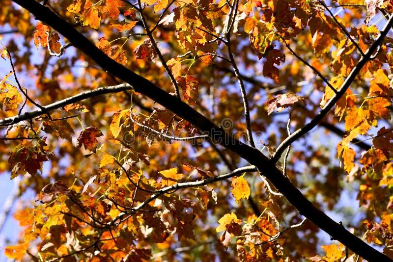 Folhas de outono douradas foto de stock