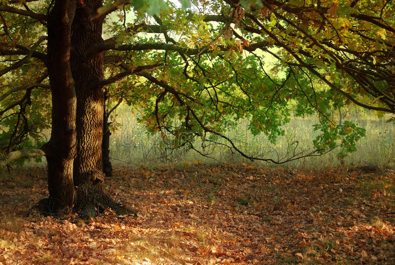 Folhas de outono e árvore de carvalho fotografia de stock royalty free