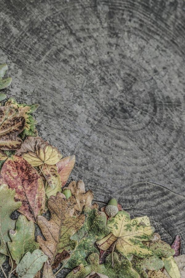 Folhas de outono e bolotas secadas no fundo de madeira fotografia de stock