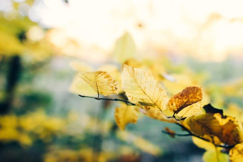 Folhas de outono em galho de árvores ensolaradas Lindas folhas amarelas de feixes de ventre em galhos no outono Autumn Tranquil imagem de stock royalty free