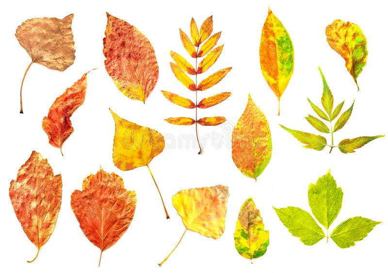 Folhas de outono isoladas no branco fotografia de stock