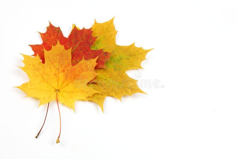 Folhas de outono isoladas no fundo branco fotografia de stock