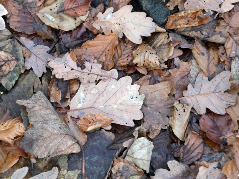 Folhas de outono misturadas de deterioração de Brown em um assoalho da floresta com pingos de chuva imagens de stock royalty free