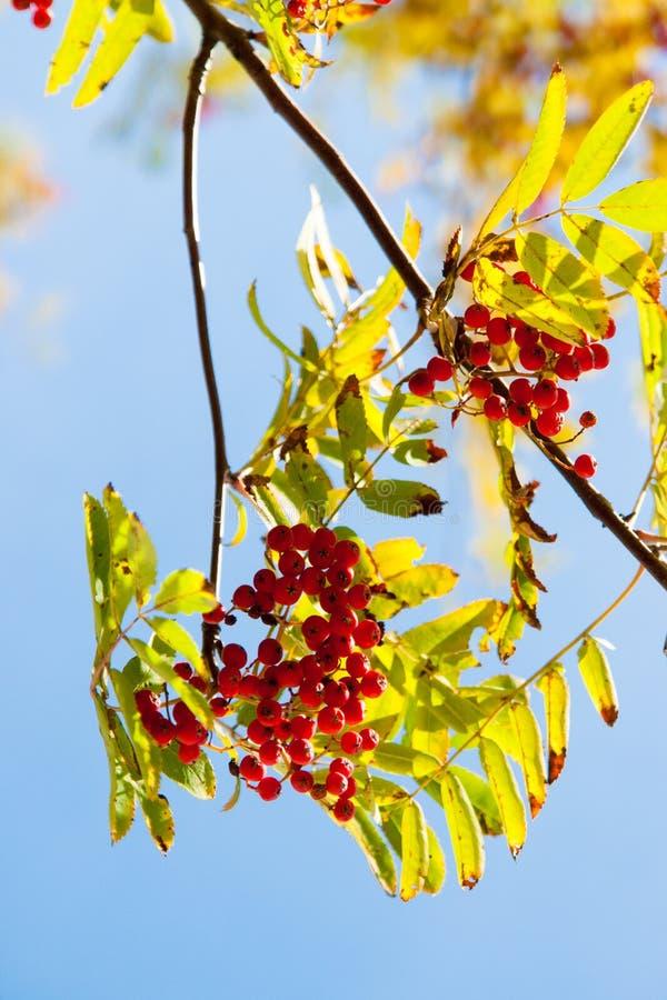Folhas de outono na árvore do outono foto de stock royalty free