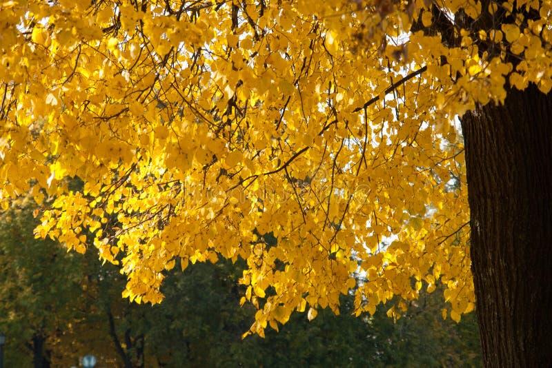 Folhas de outono na árvore do outono fotos de stock